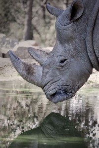 Rhinocéros zoo du lunaret