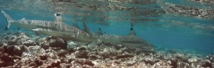 requins plage