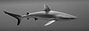 requin nb