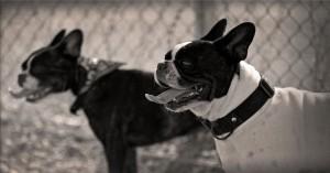 chiens boulledogues français