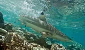 Requin plage pointe noire polynésie