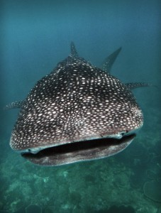 requin-baleine